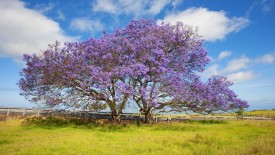 Blooming Jacaranda Trees, Maui, Hawaii